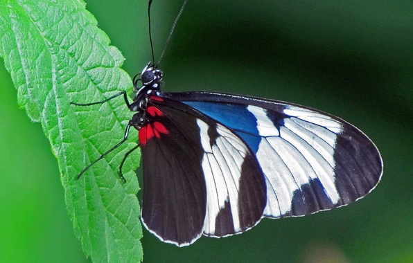 Picture butterfly, Macro, insect, butterfly, insect, Macro, Sapho Longwing Butterfly