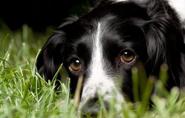 Picture grass, look, macro, dog, English Springer Spaniel, English Springer Spaniel