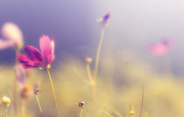 Picture field, flower, the sky, grass, color, the sun, macro, light, bright, heat, pink, glade, tenderness, …
