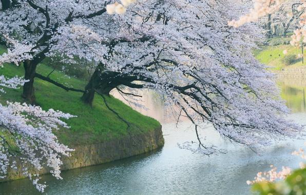 Picture Park, tree, spring, Sakura, flowering