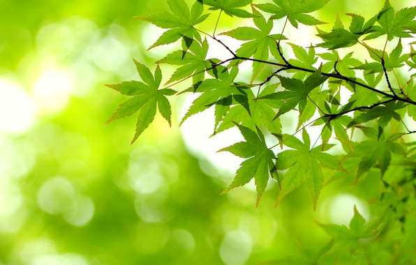 Picture leaves, light, green, branch, maple
