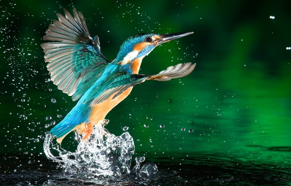 Picture color, water, drops, squirt, nature, green, photo, bird, the time, Kingfisher, coral