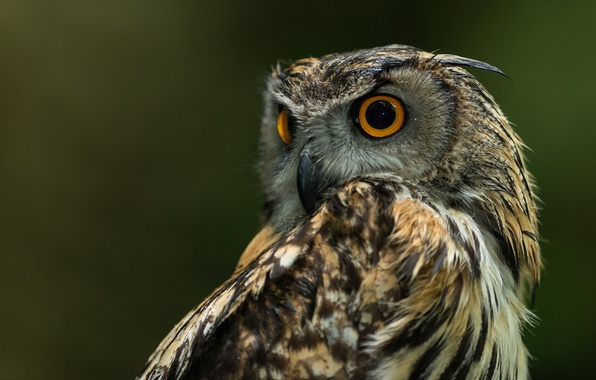 Picture nature, background, owl, bird