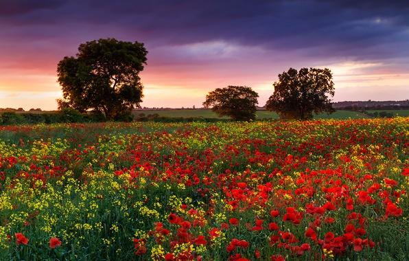 Picture field, summer, flowers, England, Maki, Nature, the evening, dervla, rape