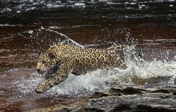 Picture water, squirt, predator, Jaguar, Amazon, (film)