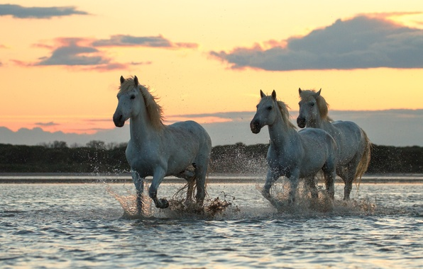 Picture morning, jump, White horses, on the river