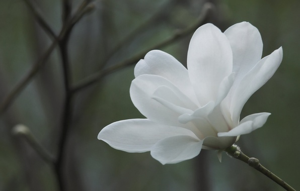 Picture white, flower, macro, flowers, branches, background, branch, spring, Magnolia