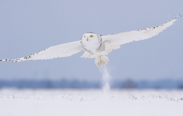 Picture winter, snow, flight, owl, bird, white, polar