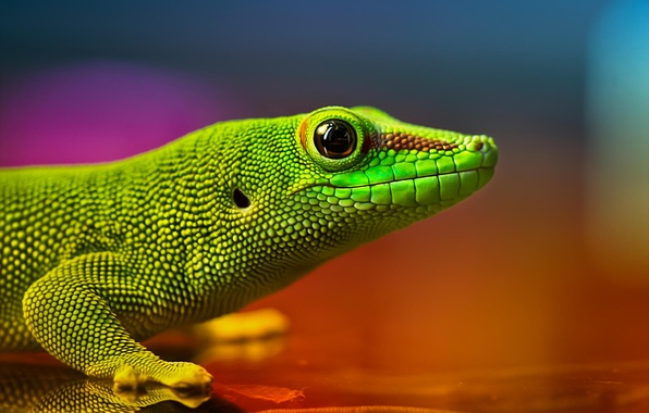 Picture Lizard, green, reptile, the colors of the rainbow