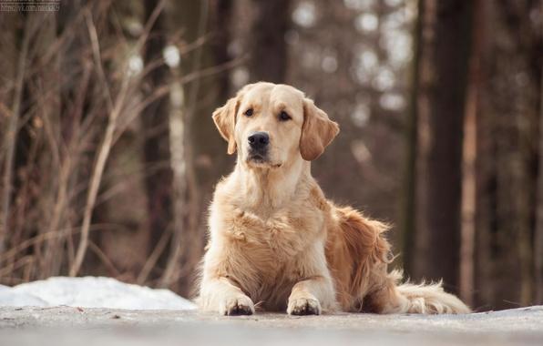 Wallpaper Dogs, Dog, Golden Retriever Images For Desktop