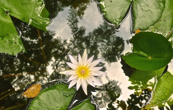 Picture leaves, water, Lily