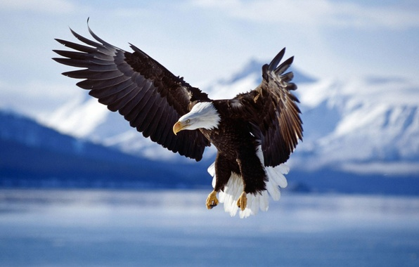 Picture animals, birds, bird, wings, eagle, the eagles, animal photos