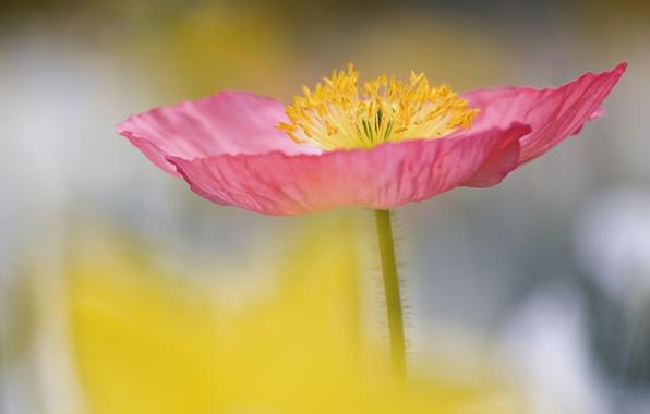Picture flower, Wallpaper, petals, stem, stamens