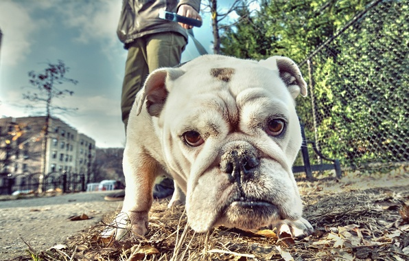 Picture look, face, street, dog, bulldog, walk, English bulldog