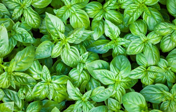 Picture green, leaves, plant