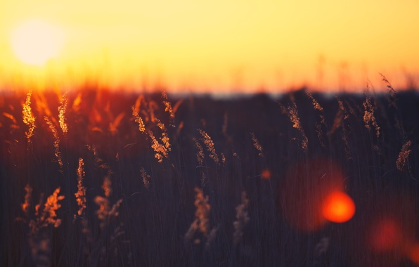 Picture field, color, the sun, rays, light, sunset, background, Wallpaper, spikelets