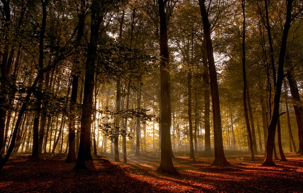 Picture forest, trees, sunset, wood