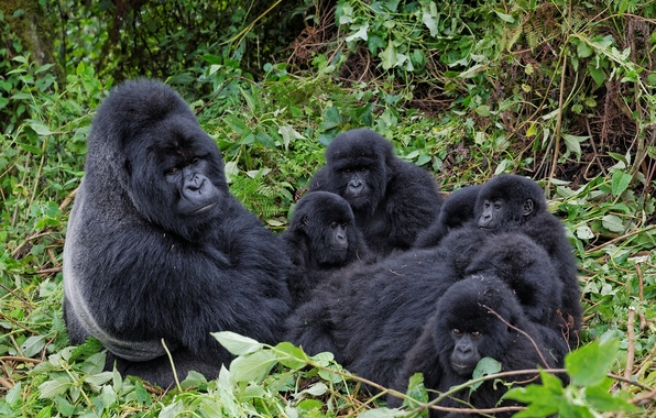 Picture branches, family, gorilla, monkey, the primacy of, cubs