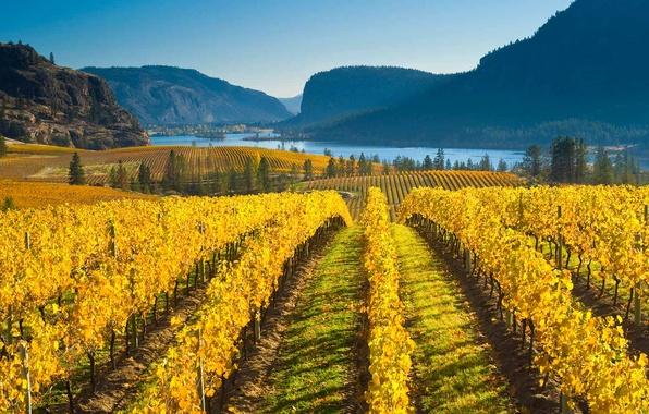 Picture autumn, mountains, nature, Canada, vineyard, British Columbia, the valley of Okanagan lake