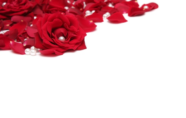 Picture flowers, roses, petals, red, white background, pearl, beads