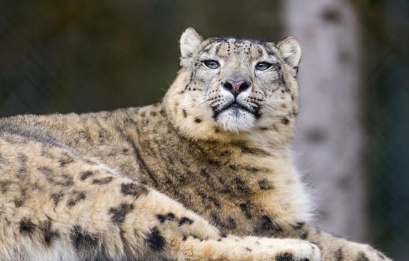 Picture cat, IRBIS, snow leopard, ©Tambako The Jaguar