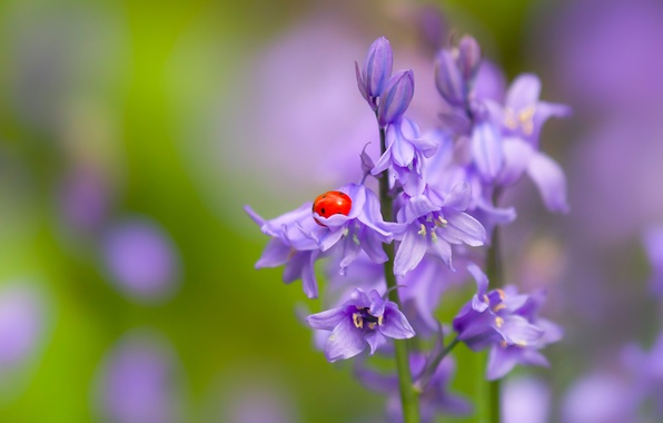 Picture flower, macro, ladybug, beetle, insect, bells, bokeh