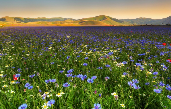 Picture field, flowers, hills, chamomile, cornflowers