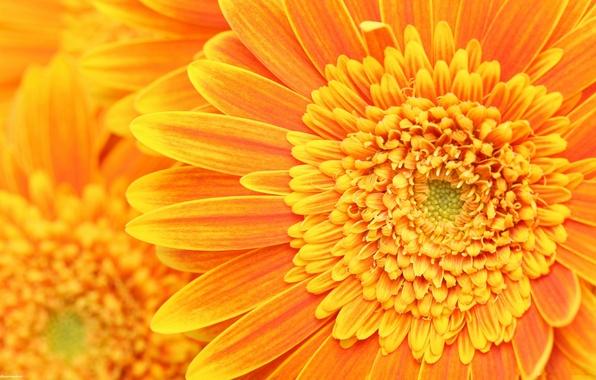 Picture orange, petals, stamens, pistils