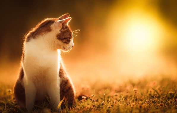 Picture cat, summer, grass, cat, the sun, nature