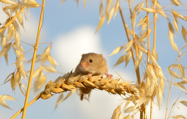 Picture macro, mouse, ears, Harvest Mouse, The mouse is tiny