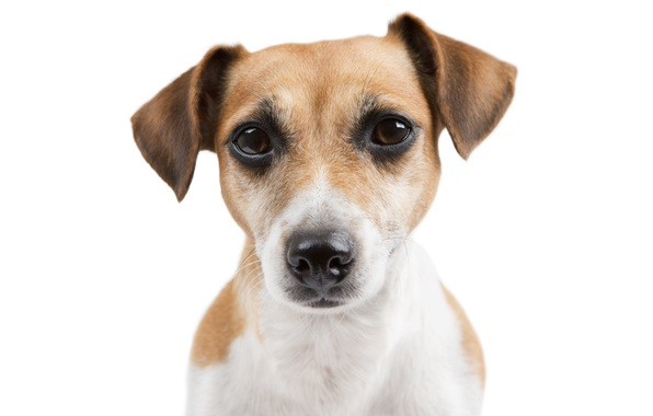 Picture look, face, dog, dog, Jack Russell