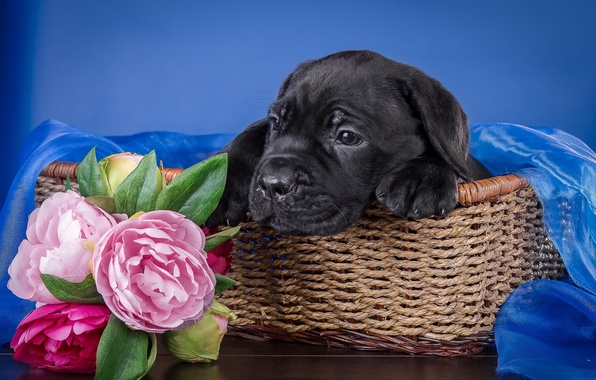 Picture flowers, basket, puppy, cane Corso