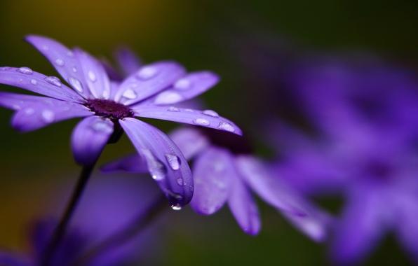Picture macro, flowers, droplets, petals, blur, lilac, Cineraria