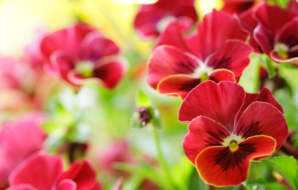 Picture macro, flowers, Pansy, viola