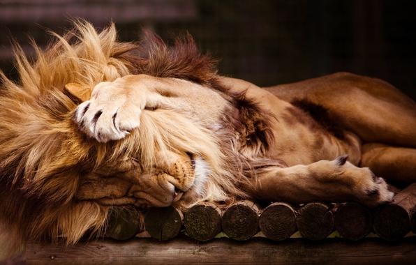 Picture sleep, Leo, paws, mane, zoo, lion