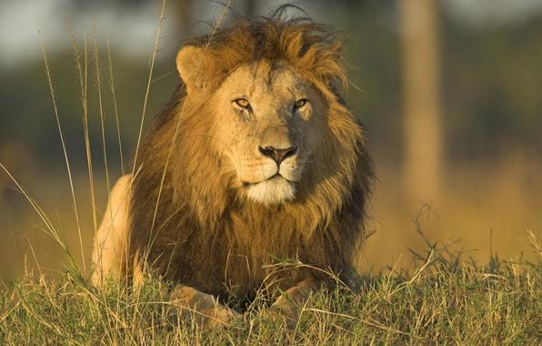 Picture animals, grass, nature, predators, Leo, wild cats, lions