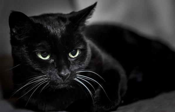Picture cat, black, Koshak, Tomcat
