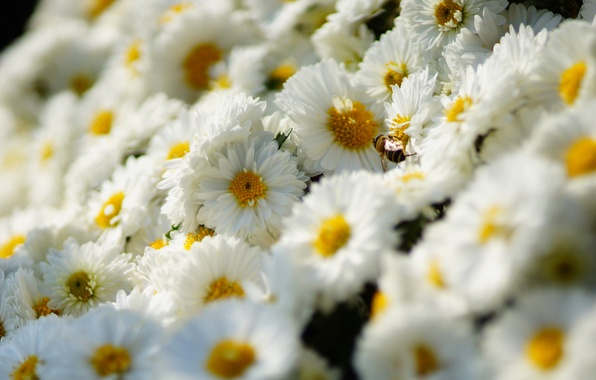 Picture flowers, bee, insect, white, chrysanthemum, a lot
