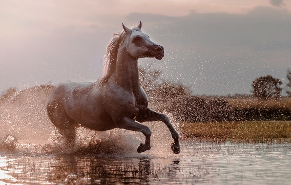 Picture squirt, horse, running