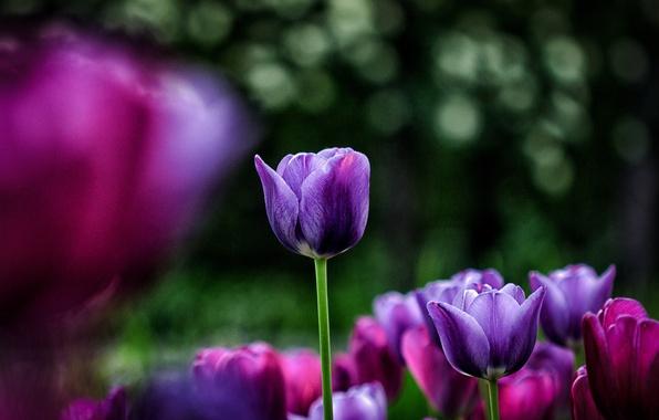 Picture flowers, glare, background, blur, purple, tulips, pink, flowerbed