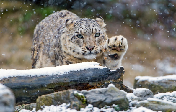Picture winter, look, snow, cats, stones, paw, snow leopard, log, bars, wild cats, snowfall, zoo