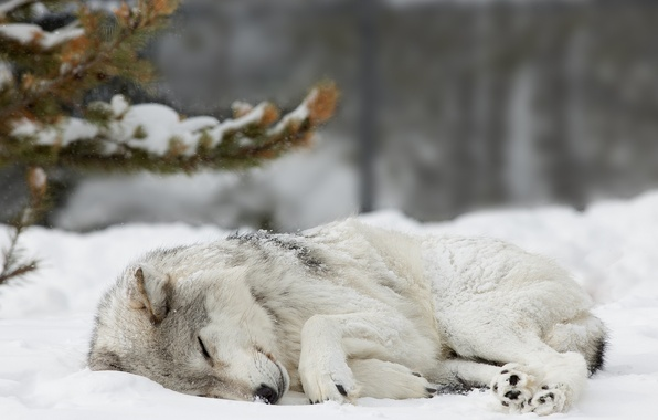 Picture forest, snow, wolf, Winter, spruce, sleeping, forest, nature, winter, snow, wolf, cute, sleaping