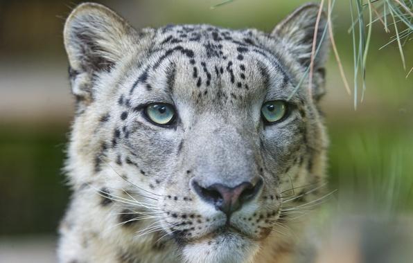 Picture cat, face, IRBIS, snow leopard, ©Tambako The Jaguar