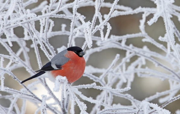 Picture winter, frost, snow, branches, bird, bullfinch