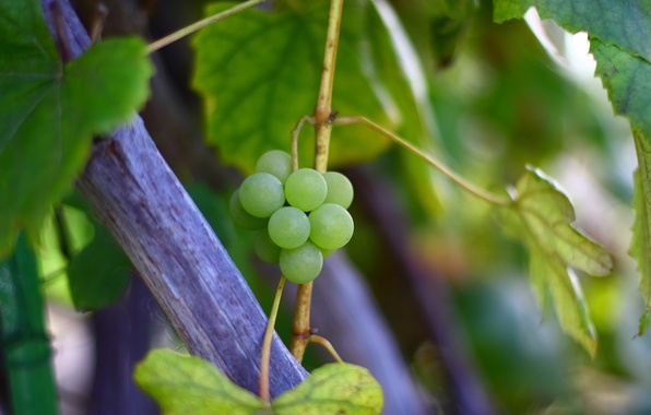 Picture autumn, leaves, macro, nature, green, Bush, branch, grapes, vine