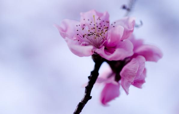 Picture flower, the sky, pink, branch, spring, Sakura
