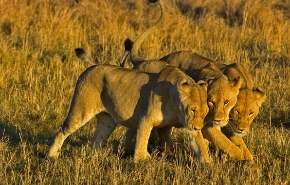 Picture Leo, Africa, Kenya, lioness, Masai Mara National Reserve