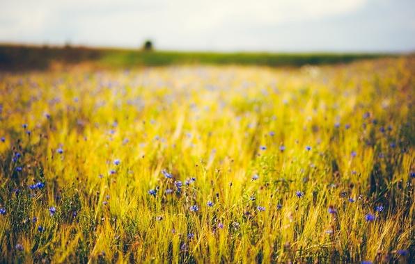 Picture wheat, purple, flowers, blue, background, widescreen, Wallpaper, rye, wallpaper, ears, flowers, flower, widescreen, flowers, background, …