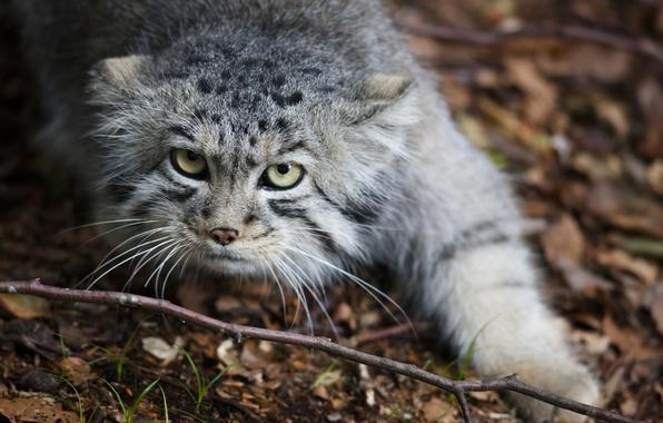 Picture cat, cat, look, face, leaves, nature, predator, Manul