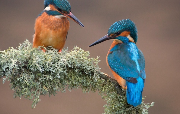 Picture birds, nature, moss, branch, Kingfisher